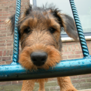 Close up photo of Airedale puppy dog.PNG