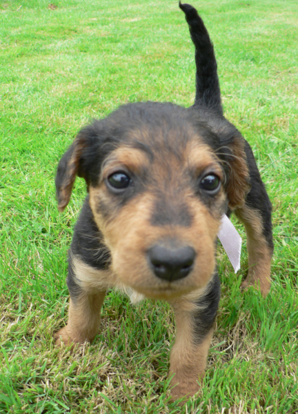 Close up pics of Airedale puppy in tan and black.PNG