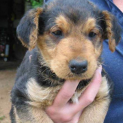 Close up picture of Airedale Pup.PNG