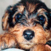 Cute Airedale Puppy in tan and black colors.PNG