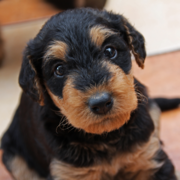 cute dog Airedale puppy pictures.PNG
