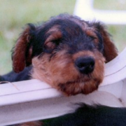 Cute puppy picture of Airedale dog.PNG