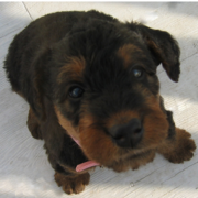 Dark color Airedale puppy dog images.PNG
