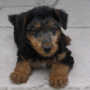Dog Airedale pup pictures.PNG