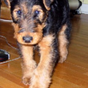Dog Airedale Puppy.PNG