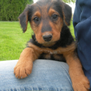 Image of Airedale Puppy dog.PNG