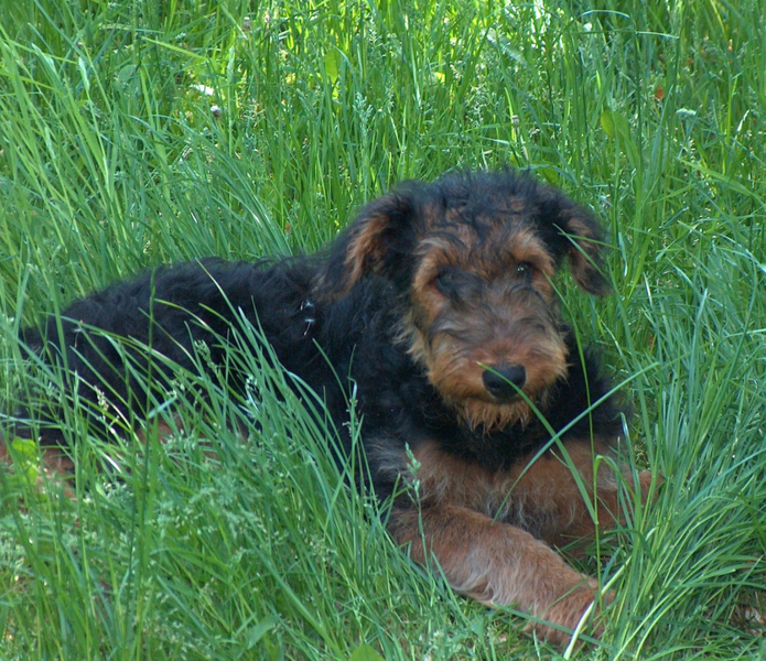 Image of Airedale puppy in black and tan colors.PNG
