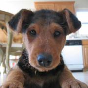 Image of Airedale Puppy in tan and black.PNG