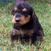 Images of Airedale puppy dog on the grass.PNG