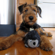 Images of Airedale puppy posting with its toy.PNG