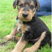 Nice picture of Airedale puppy.PNG