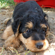 Photos of Airedale Puppy looking so cute.PNG