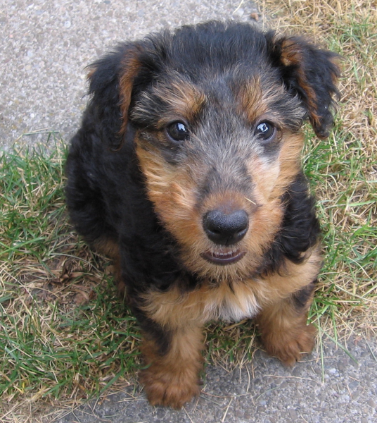 Photos of Airedale puppy looking up straight to the camera.PNG