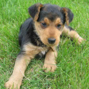 Picture of Airedale Puppy laying on the grass.PNG