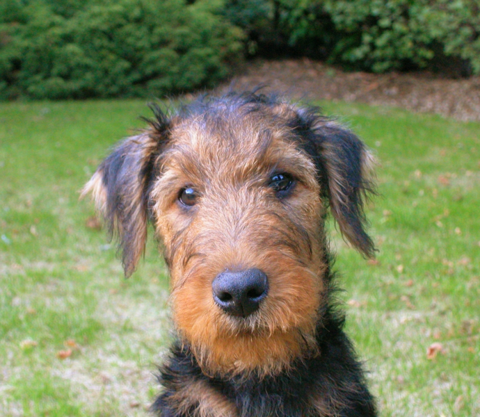 Picture of dog Airedale puppy posting.PNG