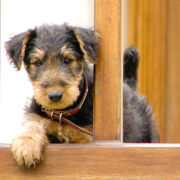 Pretty Airedale pup pictures.PNG