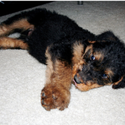 Relaxing Airedale puppy dog.PNG