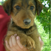 Tan Airedale Puppy with light black patterns.PNG
