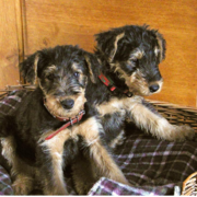 Two Airedale puppies in their bed.PNG
