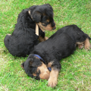 Two young Airedale pups picure.PNG