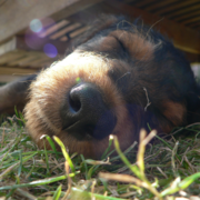Very close up picture of Airedale puppy.PNG