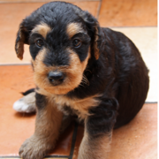 Very young Airedale puppy picture.PNG
