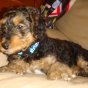 Young Airedale puppy photo.PNG