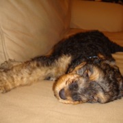 Young relaxing Airedale puppy photo.PNG