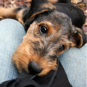 Adorable puppy photos of young Airedale dog.PNG