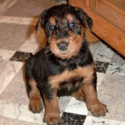 Airedale Puppy dog picture.PNG