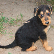 Airedale puppy dog pictures.PNG