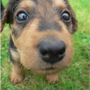 Airedale puppy dog very close up photos.PNG
