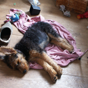 Airedale puppy in deep sleep.PNG