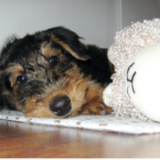 Airedale puppy laying next to its toy.PNG
