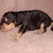 Airedale puppy picture.PNG