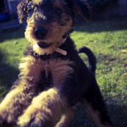 Airedale puppy playing cheerfully.PNG