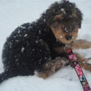 Airedale puppy playing in the snow.PNG