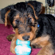 Airedale Puppy playing with its toy.PNG