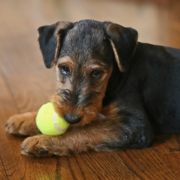 Airedale puppy playing with tennis bald.PNG