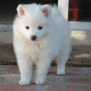 American Eskimo Puppies Picture Gallery