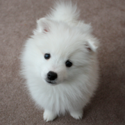 Adorable American Eskimo puppy looking straight to the camera with a very cute face expression.PNG