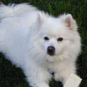 American Eskimo dog picture.PNG