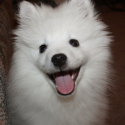 American Eskimo dog puppy.PNG