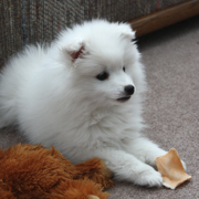 American Eskimo pup photo.PNG