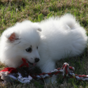 American Eskimo pup playing with its toy on the grass in the sun.PNG