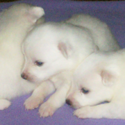 American Eskimo Puppies picture.PNG