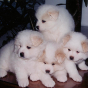 American Eskimo puppies.PNG