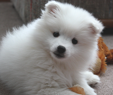 American Eskimo puppy  with its toy.PNG