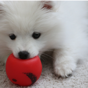 American Eskimo puppy bitting on it bright red dog toy.PNG