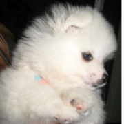 American Eskimo puppy close up.PNG